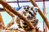 Lemur on tree branch — Zdjęcie stockowe