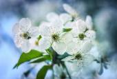Cherry flowers in spring time against blue sky — Stock Photo