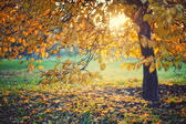 Yellow autumn leaves on a tree — Stock Photo