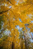 Yellow autumn maple leaves on a trees — Stock Photo
