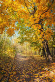 Autumn maple park with yellow leaves — Stock Photo