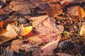 Autumn yellow leaves lying on a pine needles — Stock Photo