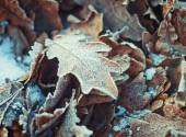 Oak leaves with hoarfrost lying on the snow — Stock Photo
