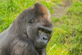 Big western lowland gorilla — Stock Photo