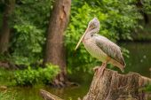 Great white pelican (Pelecanus onocrotalus) — Stock Photo