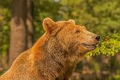 Medvěd hnědý (Ursus arctos) — Stock fotografie