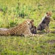 Cheetah mother with two cubs playing on savanna — Stock Photo #59260535