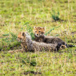 Two cheetah cubs relaxing on savannah — Stock Photo #59260537