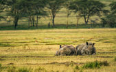 White rhinoceros in Lake Nakuru National Park, Kenya — Stock Photo