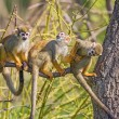 Common squirrel monkeys on a tree branch — Stock Photo #74563275