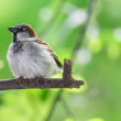Portrait of house sparrow — Stock Photo #77911070