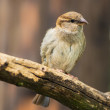 Portrait of female house sparrow — Stock Photo #77913198