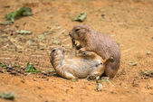 Les chiens de prairie adultes jouer combat — Photo