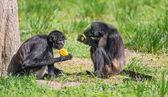 Spider monkeys enjoying a meal — Stock Photo