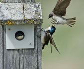 Barn Swallows at Home — Stock Photo