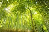 Bosque de bambú en japón — Foto de Stock