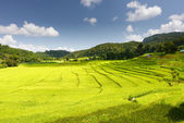 Rice in Step Formation Field — Stock Photo