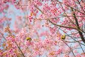 Sakura Flowers or Cherry Blossom — Stock Photo