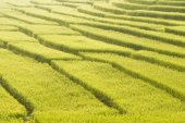 Rice Field in Step Formation — Stock Photo