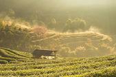 木造住宅と茶畑 — ストック写真