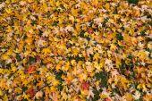 Maple Leaf Texture — Stock Photo