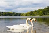 Pair of Swans at a Lake — Stock Photo