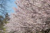 Cherry blossom on a Sakura tree backdrop — Stock Photo