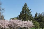 Cherry blossom on a Sakura tree with a green tree — Stock Photo