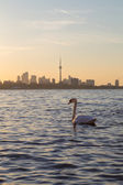 Toronto Skyline at Sunrise and a Swan — Stock Photo