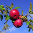 Red apples on a branch against the blue sky — Stock Photo #53020511