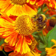 Macro - Bumblebee on a bright orange flower Helenium — Stock Photo #53020635
