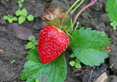 Red ripe strawberry on a bed in the garden — Stock Photo