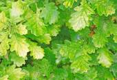 Yellowing foliage of oak close-up as background — Stock Photo