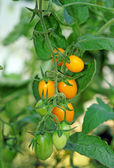 Yellow cherry tomatoes in the greenhouse close-up — Stock Photo