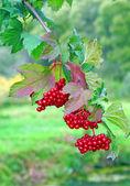 Mogen röd viburnum på en buske — Stockfoto