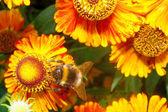 Macro - Bumblebee on a bright orange flower Helenium — Stock Photo