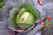 Green cabbage sprinkled with red leaves, like the petals — Stock Photo