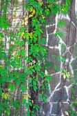 The wall of gray stones overgrown with Parthenocissus — Stock Photo