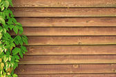 Curly Parthenocissus on the background of a wooden fence (sepia — Stock Photo