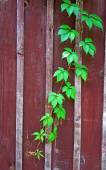 Parthenocissus branch on burgundy wooden fence (vertical image) — Stock Photo