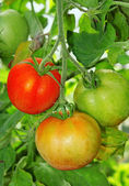 Three tomatoes: ripe, unripe and ripening on a branch close-up — Stock Photo