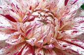 White dahlia with purple spots closeup — Foto de Stock