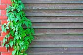 Curly Parthenocissus on the background of a wooden fence with br — Stock Photo