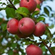 Red apples on a branch — Stock Photo #55746523