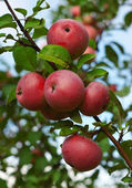 Red apples on a branch — Stockfoto