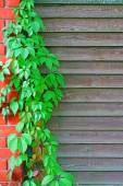 Curly Parthenocissus on the background of a wooden fence with br — Stockfoto