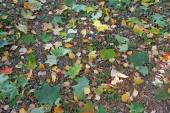 Fallen maple leaves green and yellow birch leaves as a backgroun — Stock Photo
