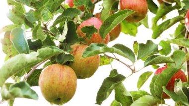 Apple orchard — Stock Video