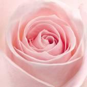 Macro rosa rosa girato — Foto Stock