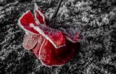 冰冻玫瑰 — 图库照片